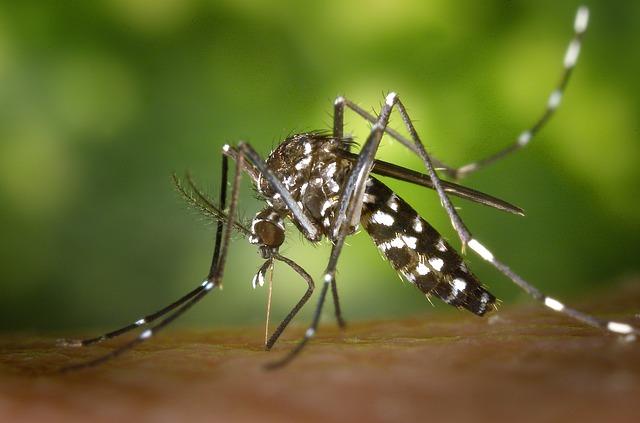 tygr komár.jpg