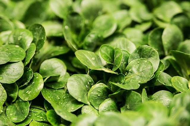 Listy salátu